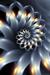 romantic  chrysanthemum