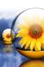 sun flower in bubble