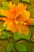 rose chinensis