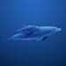 the swiming shark