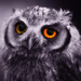 disappoint owl