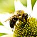 bee eatting the honey