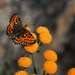 butterfly on the yellow flowers