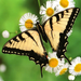 butterfly on the white flowers