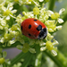 Coccinella septempunctata  with the flower