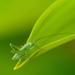 locust on the leaf