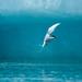 beauty kingfisher
