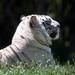 cross stripe tiger