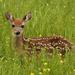 deer in the grasses