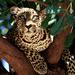 elegant leopard