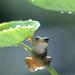 frog under the leaf