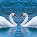 gooses lovers on the sea