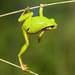 green frog on the branch