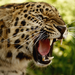 howl leopard