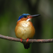kingfisher on the branch