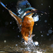 kingfisher on the water