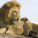 lions mother and child