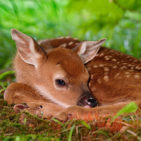 little sika deer