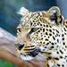 nice leopard