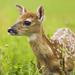 nice sika deer