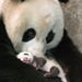 panda mother and child