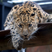 playing leopard