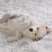 sleeping samoyed