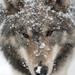 siberian husky with the snow