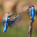 two kingfisher