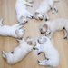 6 little white dogs