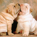 shar pei lovers