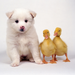 white dog with ducks