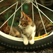 cat on the wheel