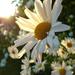 big white sunflowers