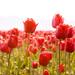 full of tulips