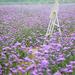 lots of purple flowers