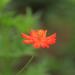 one orange flower