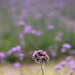 purple small flowers