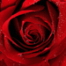 red elegant rose