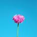 rose flower blue background