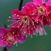 rose peach blossom