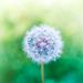 small dandelion